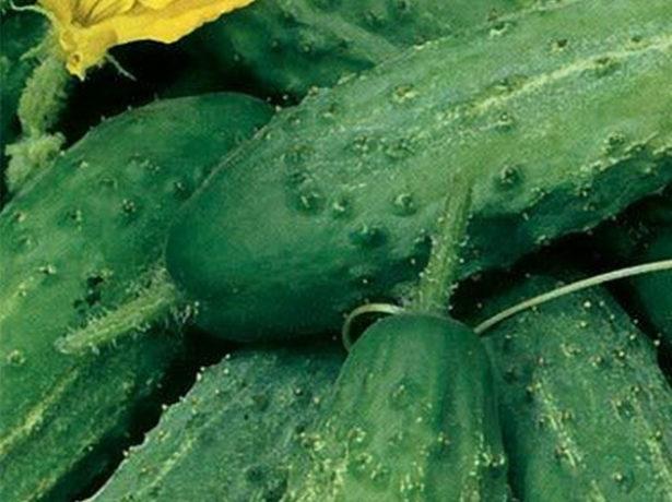 Популярні сорти огірків середнього і пізнього терміну дозрівання