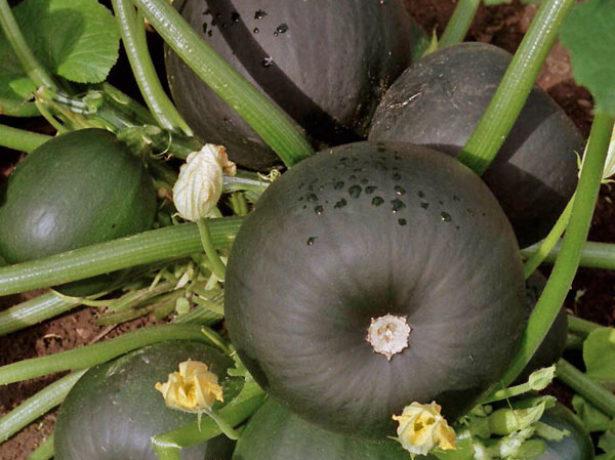 Вирощуємо кабачки у відкритому грунті
