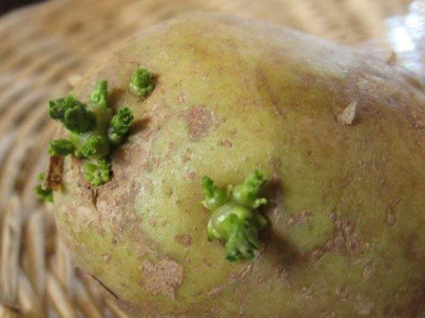 Російський метеор-перша картопля на вашій ділянці