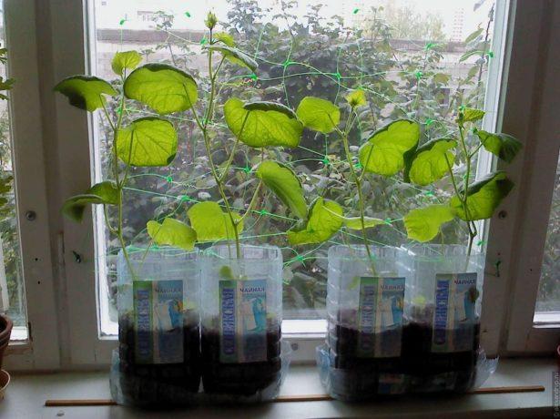 Садимо огірки насінням і розсадою