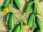 Пучкові огірки - це банани на грядках