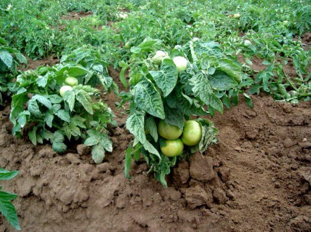 Клуша: популярний ранній сорт томатів