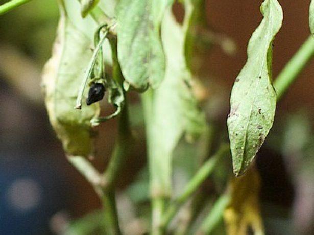 Чорний перець в природі і вдома: міфи і правда про вирощування спеції