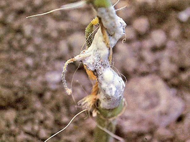Боротьба з хворобами і шкідниками кавуна