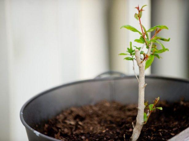 Бейбі: вирощування кімнатного граната