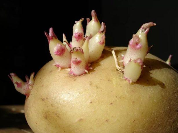 Цікава новинка картопляного ринку: сорт пан