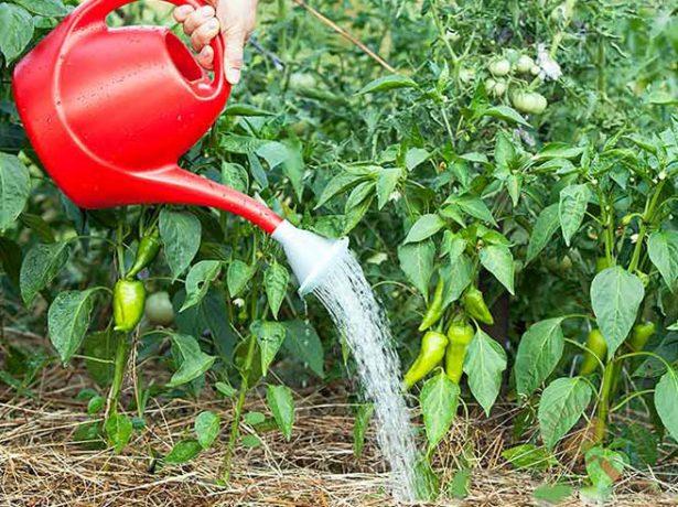Перець колобок: характеристики сорту і нюанси вирощування