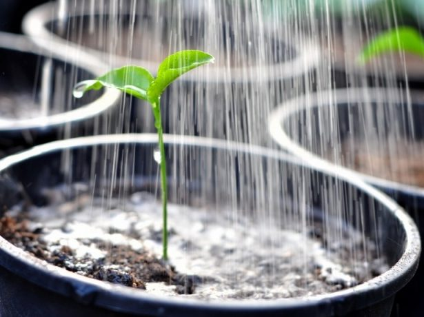Перець подарунок молдови: опис сорту і догляд за рослиною