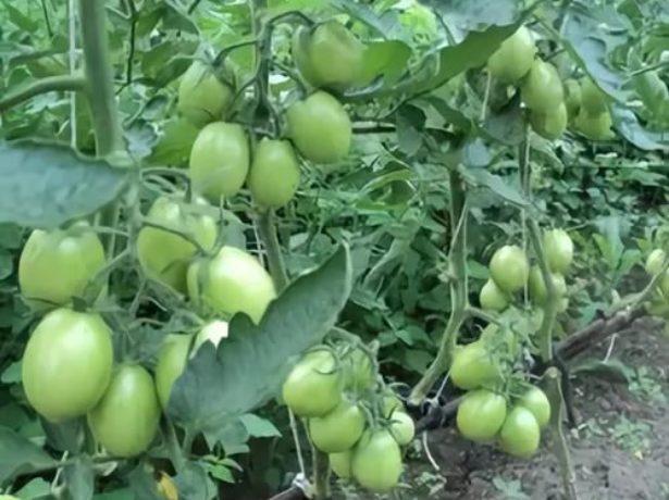 Де барао-надійний бразильський сорт пізніх томатів