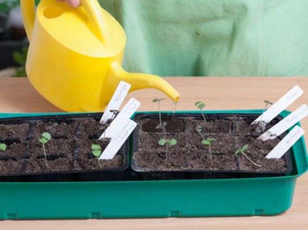 Базилік на підвіконні: вирощування та догляд