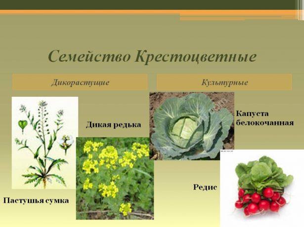 Вирощування хрону: сорти, особливості посадки та догляду