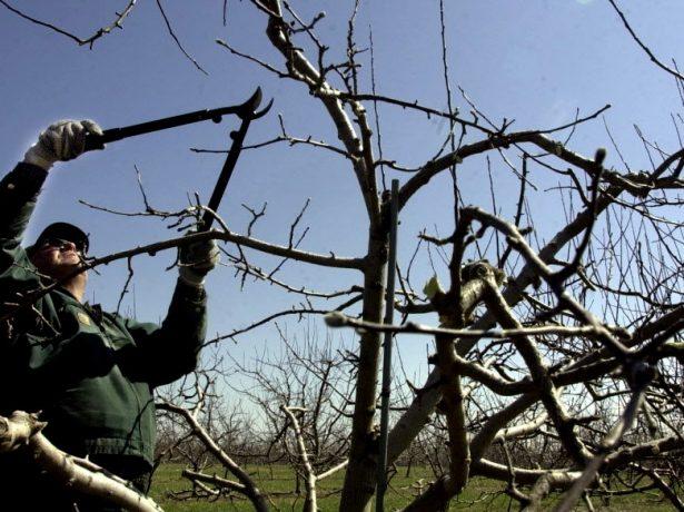 Весняна обрізка яблунь-приводимо сад в порядок