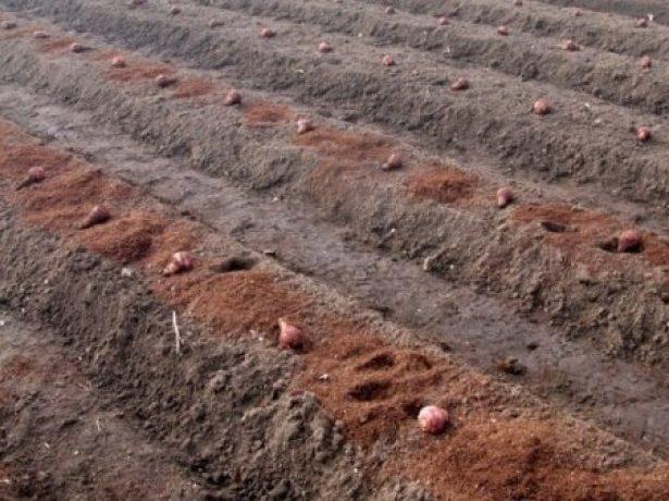 Топінамбур: як посадити або пересадити земляну грушу