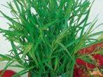 Естрагон, він же тархун: як виростити смачну і корисну траву на городі і вдома