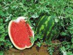 Рекомендації по вирощуванню кавунів в білорусі