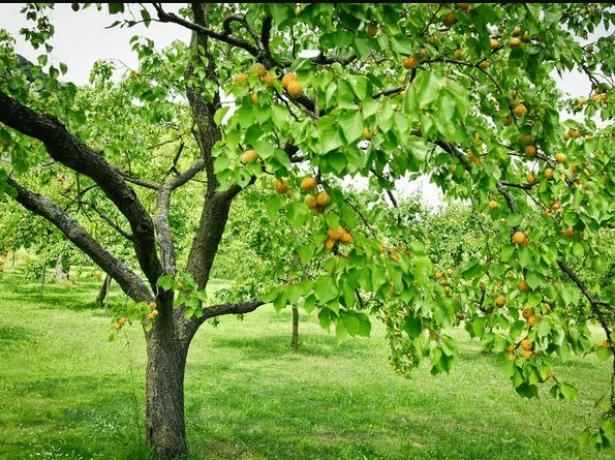 Абрикос тріумф північний: особливості посадки і вирощування