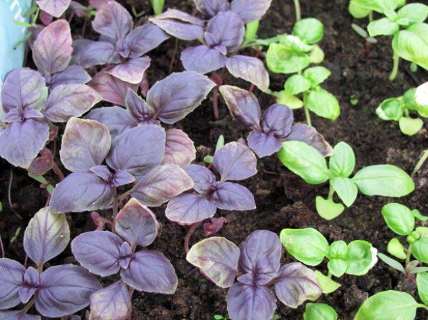 Базилік-ароматна пряність на вашому городі
