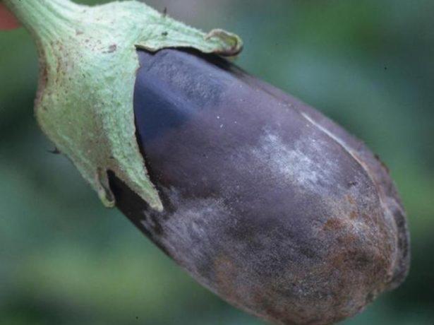 Як виростити і вберегти від хвороб і шкідників розсаду баклажанів