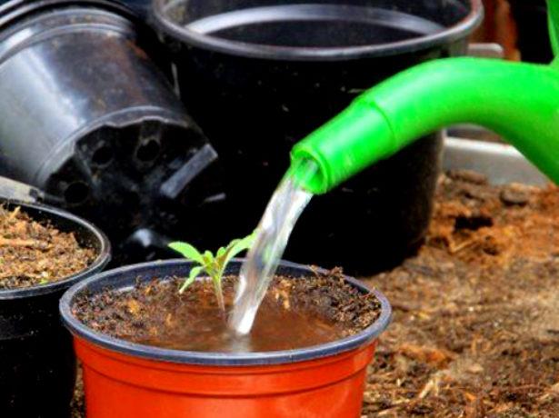 Важливий етап вирощування розсади томатів-пікіровка