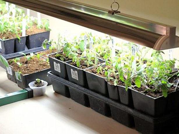 Нідерландська рись на городі-помідори сорту бобкат