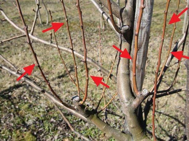 Прості правила весняної обрізки вишні