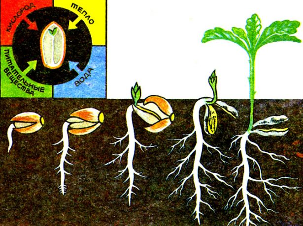 Пророщування насіння перцю: перевірені і нові способи