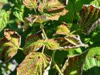 Догляд за малиною навесні: необхідні заходи для відмінного врожаю