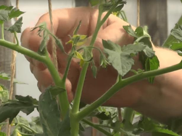 Пасинкуем томати правильно і вибираємо непасынкующиеся сорти
