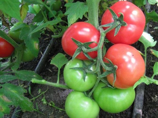 Сорт томатів, названий в память загиблого космонавта владислава волкова