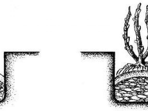 Декоративна жимолость каприфоль: сорти, посадка і догляд