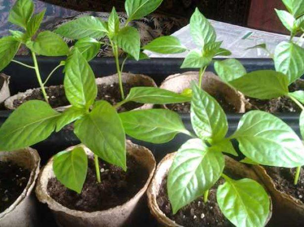 Ефектний какаду-перець, який хочуть виростити багато