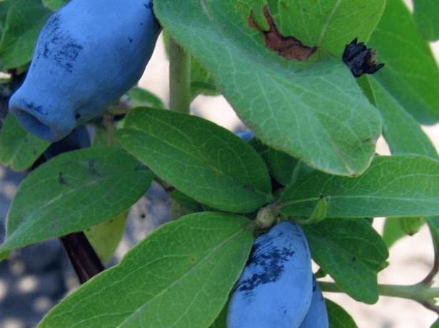 Жимолость їстівна: кращі сорти і поради по догляду
