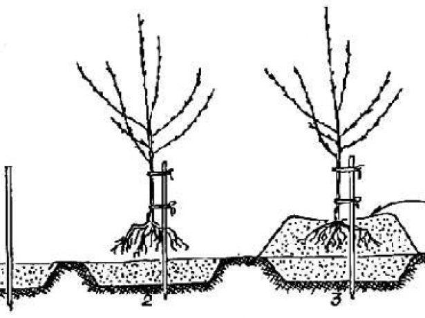 Слива скороплідна-одна з перших вітчизняних китаянок