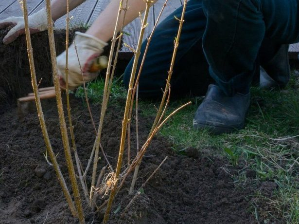 Весняна обробка смородини окропом