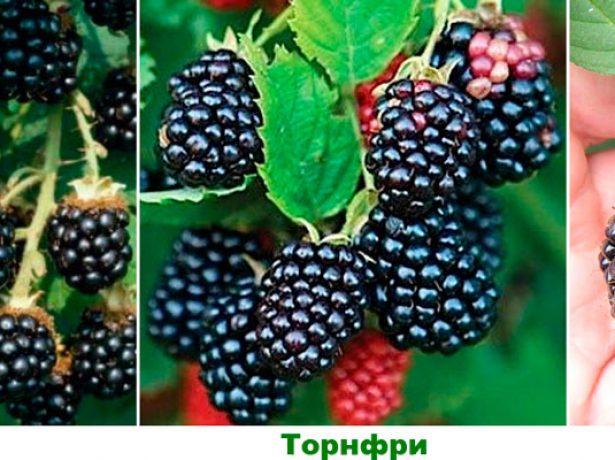 Ожина торнфрі: сорт великої безколючкової ягоди, яку можна вирощувати в багатьох регіонах росії