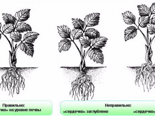 Садова суниця сорту олександрія-маленька, та удаленька