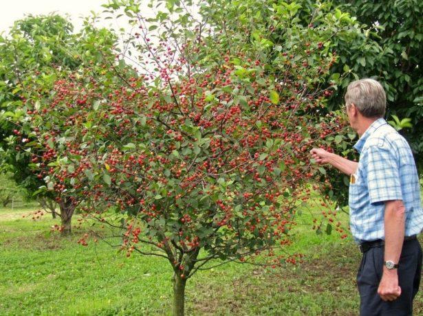Загадка вишневої кісточки: як виростити з неї саджанець вишні