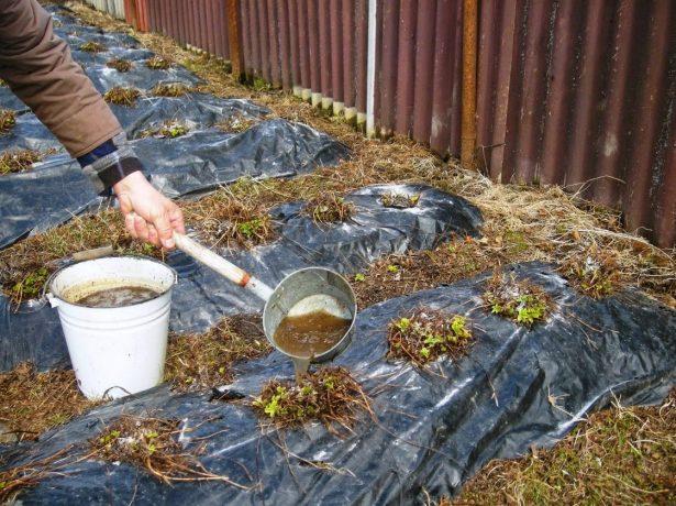 Як правильно підгодовувати кущі полуниці навесні, щоб отримати багатий урожай