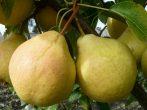 Осінні груші-ласощі для гурманів