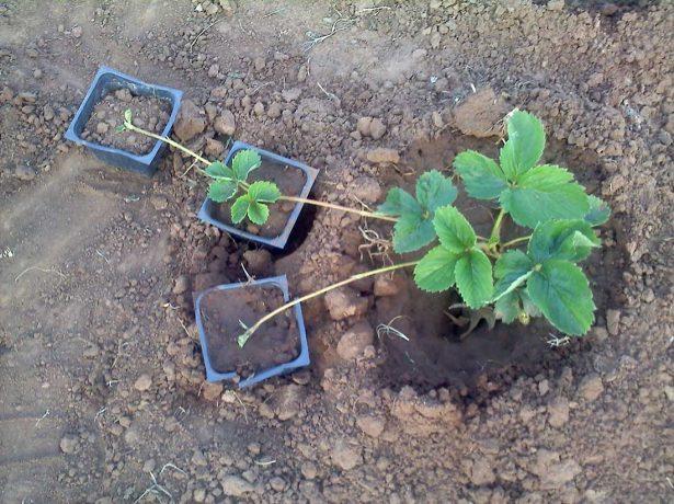 Осіння пора - час посадки полуниці