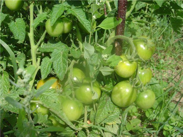 Сорт бетта-ранні польські помідори
