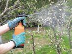 Грамотна підгодівля вишні з весни до осені
