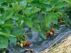 Підготовка грунту і формування грядок для полуниці навесні