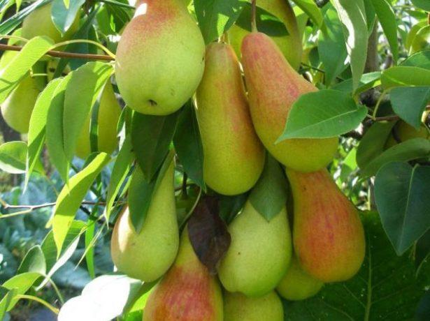 Сорт талгарська красуня: особлива груша з казахстану