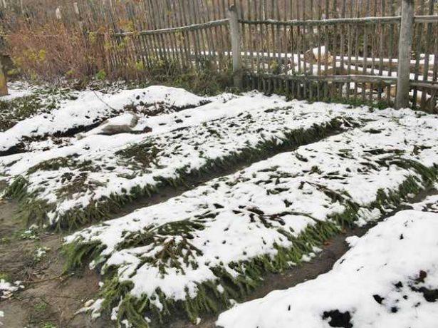 Укриття полуниці на зиму: робимо вчасно і правильно