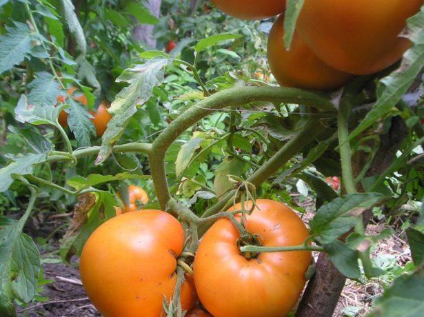 Медовий спас-сонячний помідор з солодким смаком