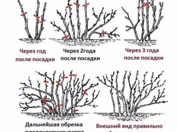 Як правильно обрізати шипшина восени