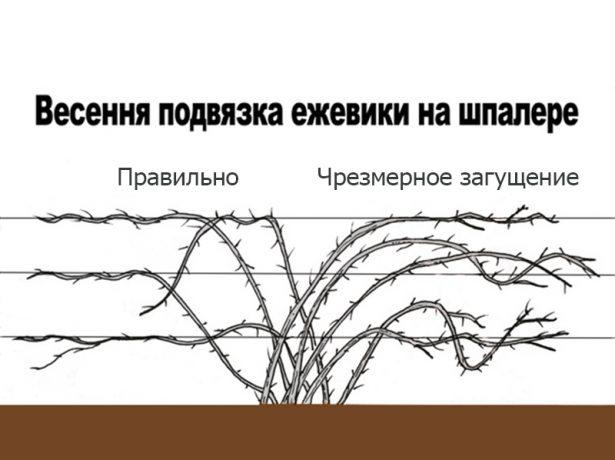 Лох-несс-високоврожайна ожина без колючок для півдня і середньої смуги росії