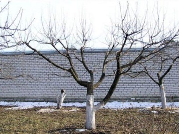 Слива болховчанка-урожайний сорт для центрально-чорноземного регіону