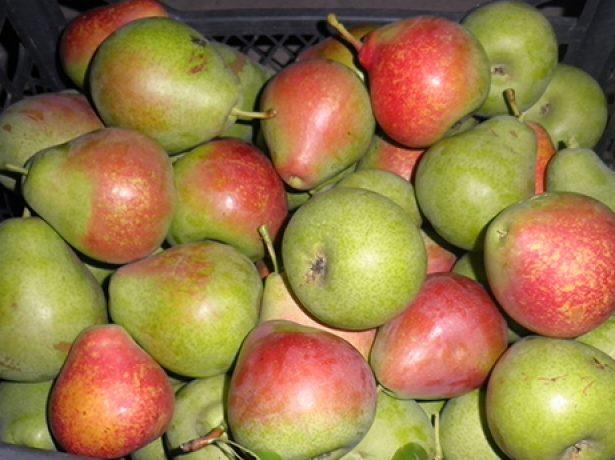 Сорт груші мармурова-смачний, красивий і урожайний